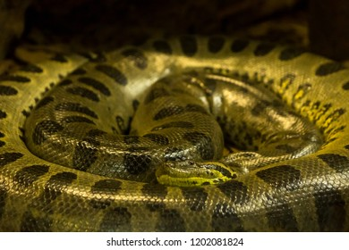 Green anaconda, Eunectes murinus,  sucuri snake.  huge and dangerous snake.