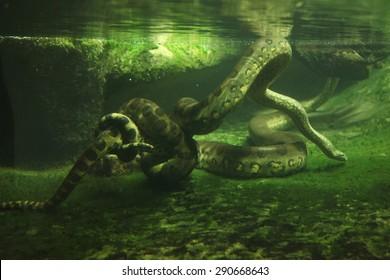Green anaconda (Eunectes murinus) swimming underwater. Wildlife animal.