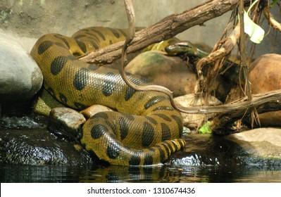 The green anaconda (Eunectes murinus) is the symbol of Amazonia