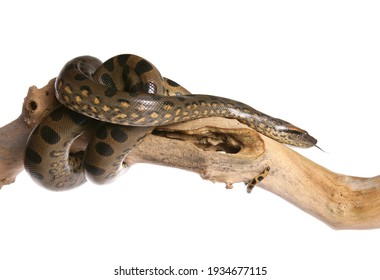 Green anaconda on a branch in a studio isolated on a white background