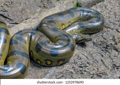 Green Anaconda Snake, Amazon, Peru