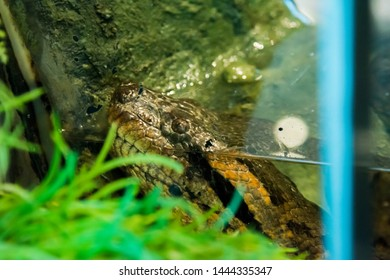 Green Anaconda snake in the jungle