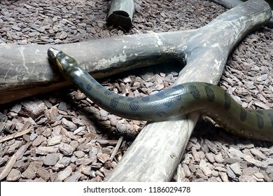"""The green anacondas are also called """"water boa"""". They wait in shallow waters for prey, which they kill by drowning or constriction. Large females can produce up to 100 live young. selective focus."""