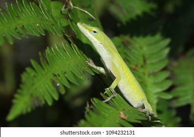 Green Anole lizard on ferns in Florida.
