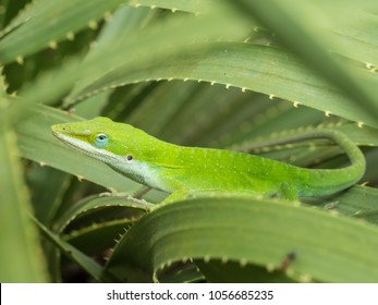 Green anole lizard on Texas Sotol