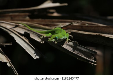 Green Anole Lizzard