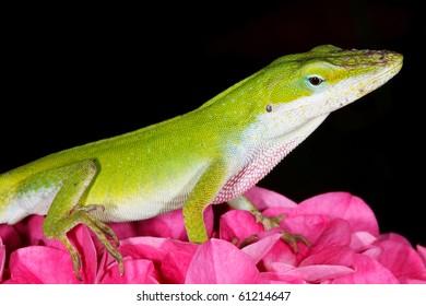 Green Anole on Pink Hydrangea