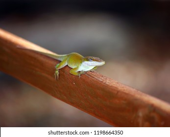 green anolis lizzard