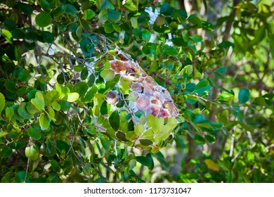 Green Ant Nest, Ball of green leaves stuck together to form a nest in a tree for green ants