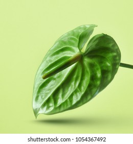 Green anthurium flower isolated on a yellow background