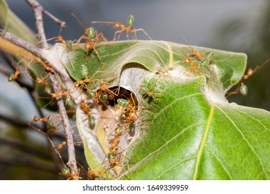 Green Ants nest with ants