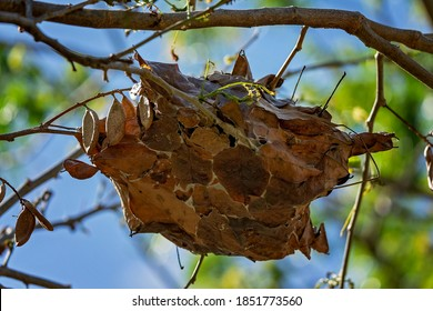 A green ants nest hanging in a tree