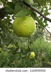 Green apple in drops water after summer rain on the old big apple tree in the garden on the branch. Summer harvest. Symbol of law universal gravitation