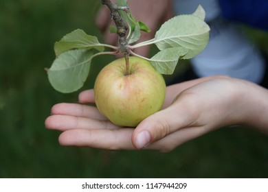 Green apple in the hand. Harvest time in Germany. The Hot August. Beautiful Background with fruit at summer day.