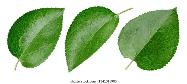 Green apple leaf isolated on white. Collection leaf Clipping Path. Professional studio macro shooting