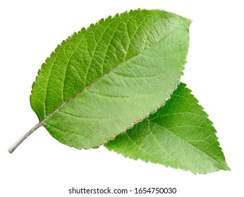 Green apple leaf isolated on white background. Leaves Apple Clipping Path
