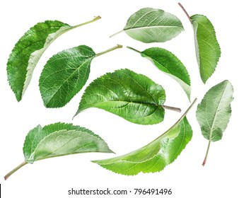 Apple Leaf Images Stock Photos Vectors ShutterstockGreen Apple Tree Leaves