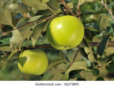 Green apple on a tree