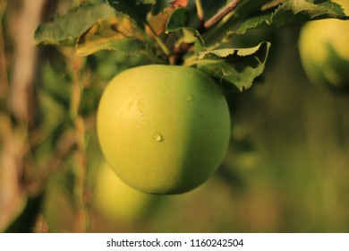Green apple in the tree, branch, tree, harvest