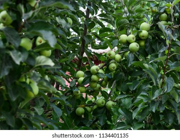 Green apple trees at garden in summer time.