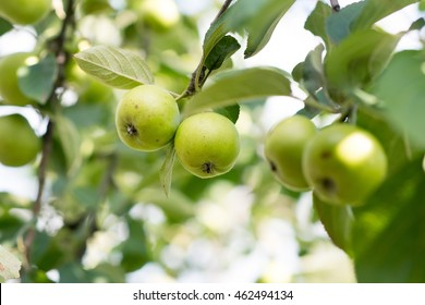 Green apples growing on the tree. Nature