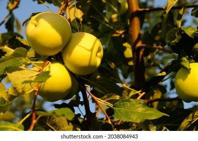 Green apples on apple tree.