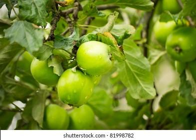 green apples on apple-tree branch