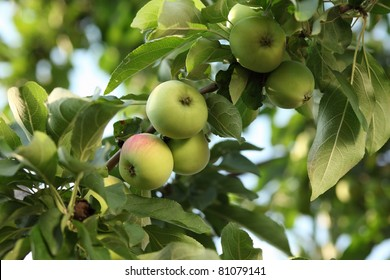 Green apples on a branch. Close-up.