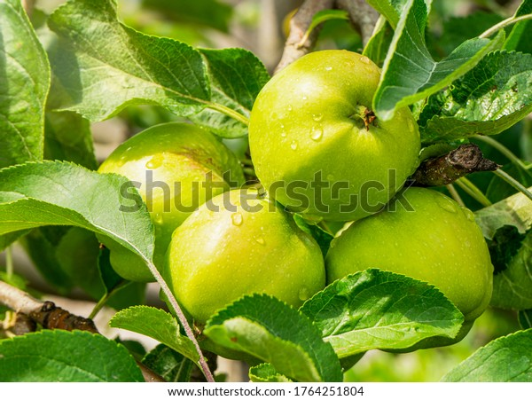 Green apples on a branch ready for harvest, in the open sun after rain. Defocus