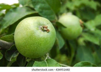 green apples on the tree, Armenia  Perfect background for a text