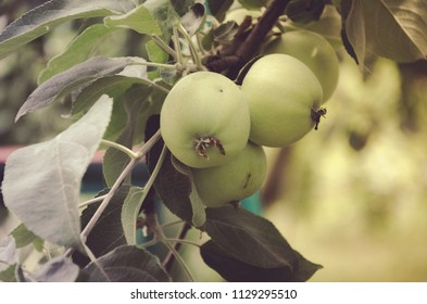Green apples on a tree branch, fresh fruits
