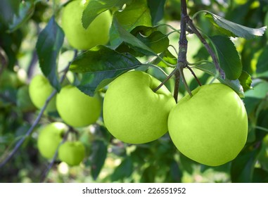 Green apples on tree in Orchard