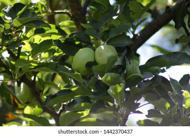 green apples on tree,  seen growing at the community garden in the bedford Stuyvesant section of Brooklyn on a sunny summer day in Brooklyn NY Juny 4 2019