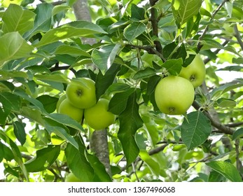 Green Apples on a Tree in Summer