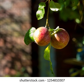 Green apples pomaceous fruit of the apple tree turning red , species Malus domestica growing on a seedling apple tree in a home garden will  ripen  in autumn  and be picked for eating.