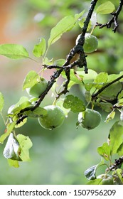 green apples with water drops  hanging on tree branch on outdoor orchard background