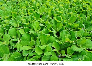 Green aquatic plant