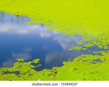 Green aquatic plants growing inside Erhai lake and stairs in Dali city Yunnan province China.
