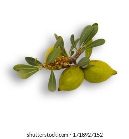 green argan fruits in Avril