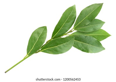 Green aromatic bay leaf branch photo, isolated on white. Laurel twigs. Photo of laurel bay harvest for eco cookery business. Antioxidant kitchen herbs