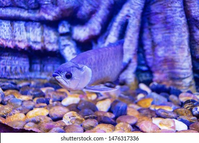 Green Arowana Fish view in close up in an aquarium