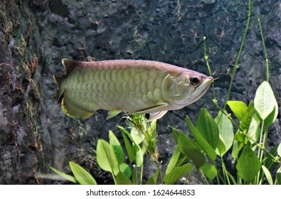 Green Arowana in freshwater aquarium. Asian arowana (Scleropages formosus) is one of the world's most expensive cultivated ornamental fishes, an endangered species.