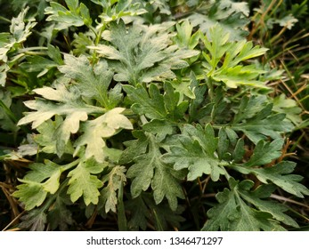green Artemisia argyi plant, ingredient for traditional Chinese Green cake, Disinfection itching for maternal