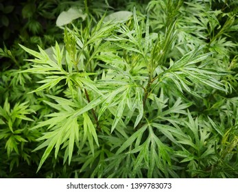 green Artemisia argyi plant, Natural vegetable dyes, Chinese new mothers use it to disinfect and relieve itching, raw material of Chinese cake Sweet Green Rice Ball and Qing dumpling