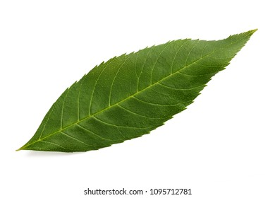 Green ash tree leaf isolated on white