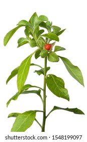 Green Ashwagandha plant with red berry on white background
