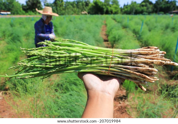 green asparagus on hand in field.