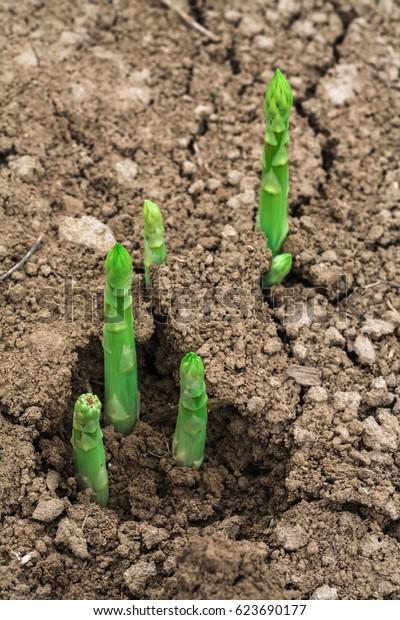 green asparagus vegetable on field