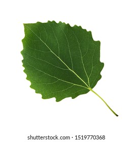 Green aspen leaf isolated on white background close-up