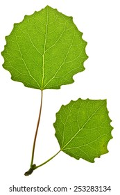 Green aspen leaf isolated on white
